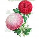 BEAUTIFUL FLOWER-003 Chrysanthemums vintage print