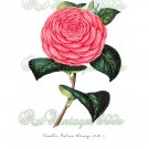 BEAUTIFUL FLOWER-001 Camellia vintage print