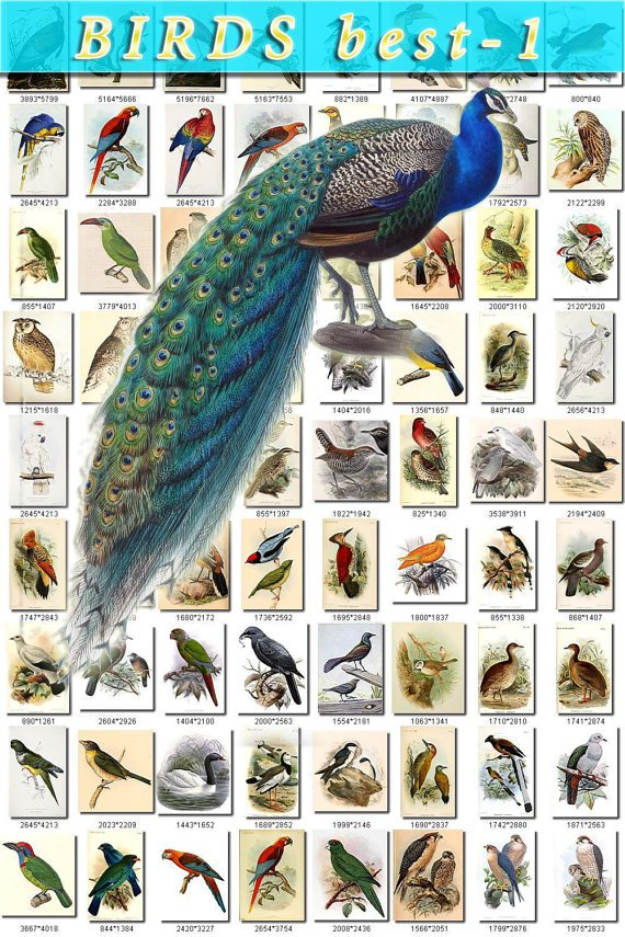 BIRDS BEST-1 365 most beautiful pictures vintage print