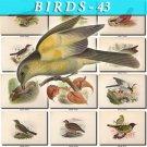 BIRDS-43 188 vintage print