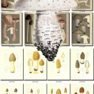 MUSHROOMS-16 329 vintage print