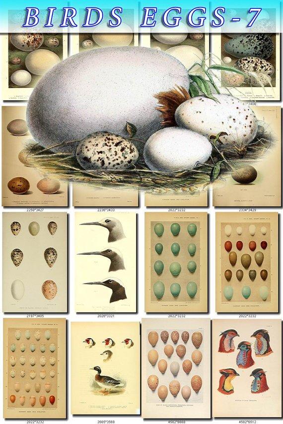 BIRDS EGGS-7 326 nests heads vintage print