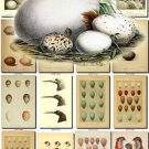BIRDS EGGS-7 326 nests heads vintage print