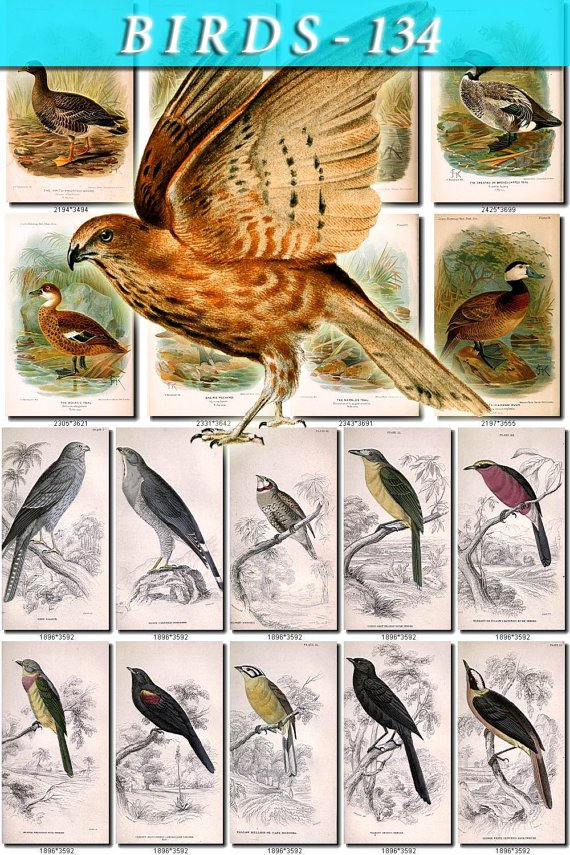 BIRDS-134 59 Crow Falcon Finch Weaver Bengaly Shrike Grakle Goose vintage print