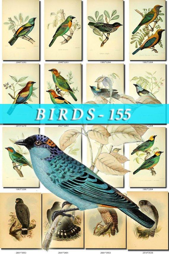 BIRDS-155 59 vintage print