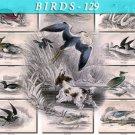BIRDS-129 67 Water Rail Swan Shoveller Eider Duck Guillemot Petrel vintage print