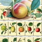 FRUITS VEGETABLES-1 143 vintage print