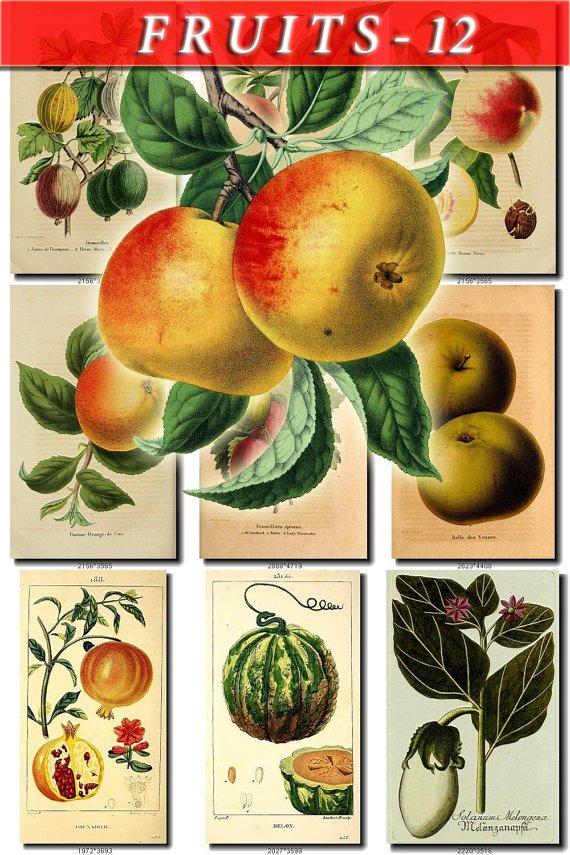 FRUITS VEGETABLES-12 50 vintage print