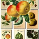 FRUITS VEGETABLES-12 50 vintage print