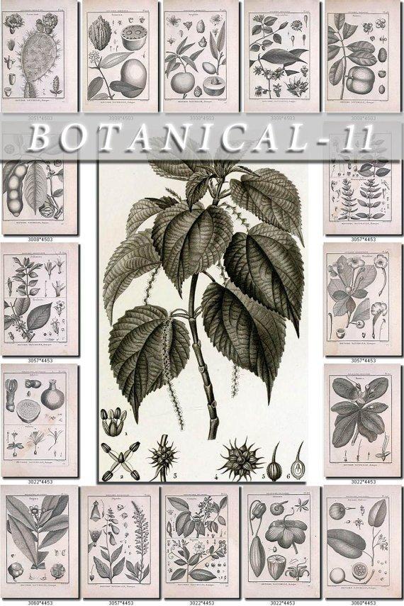 BOTANICAL-11-bw 541 black-, -white vintage print