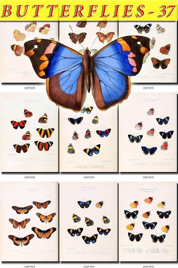 BUTTERFLIES-37 72 vintage print