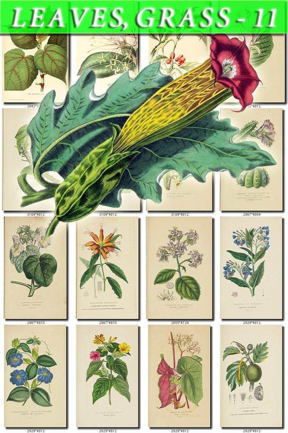 LEAVES GRASS-11 294 vintage print