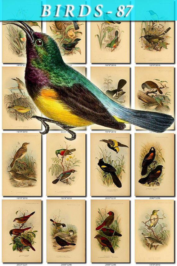 BIRDS-87 205 vintage print
