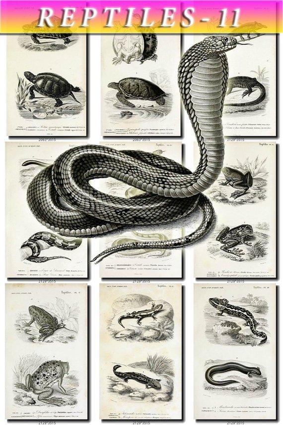 REPTILES & AMPHIBIAS-11-bw 71 black-, -white vintage print