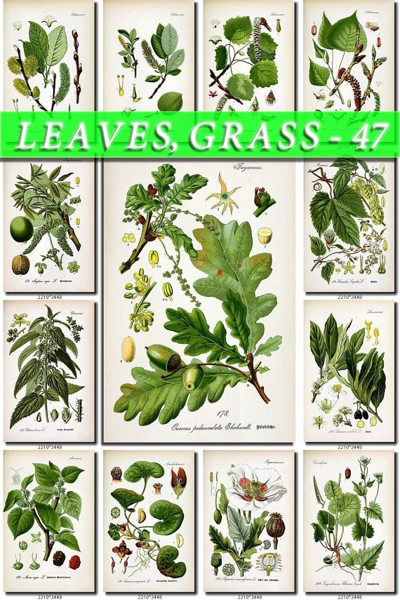 LEAVES GRASS-47 162 vintage print