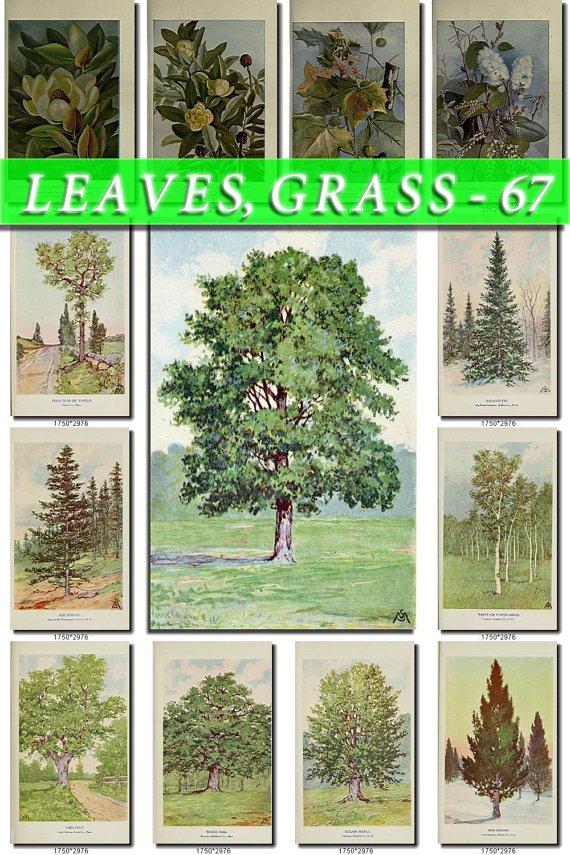 LEAVES GRASS-67 233 vintage print