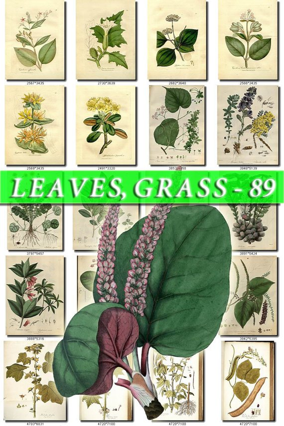 LEAVES GRASS-89 322 vintage print