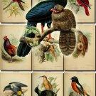 BIRDS-72 68 vintage print