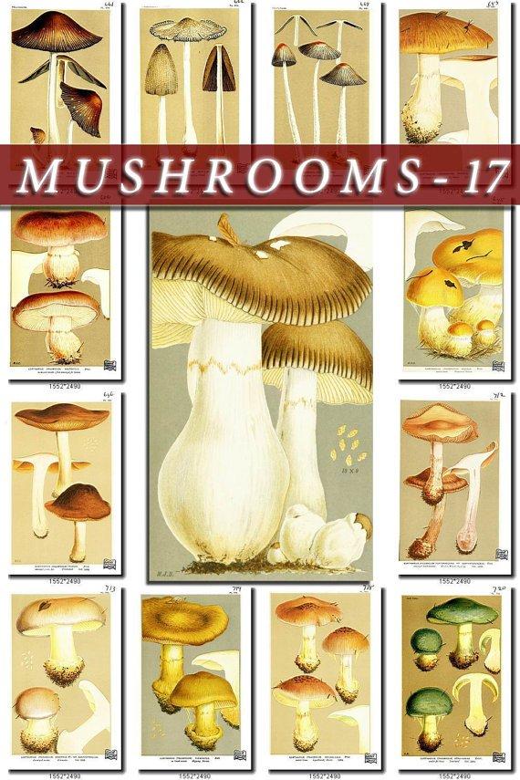 MUSHROOMS-17 271 vintage print