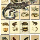 REPTILES & AMPHIBIAS-5 212 vintage print