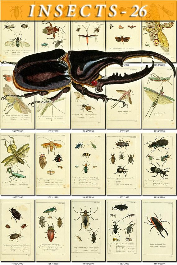 INSECTS-26 139 vintage print