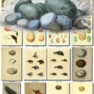 BIRDS EGGS-5 103 nests heads vintage print