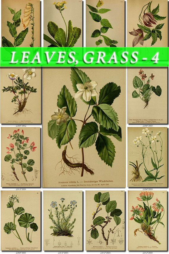 LEAVES GRASS-4 246 vintage print