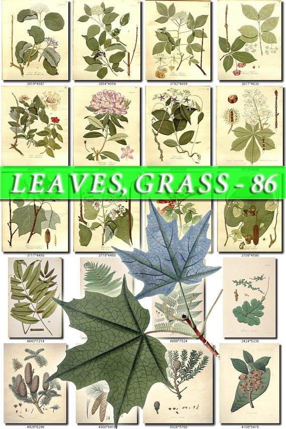 LEAVES GRASS-86 267 vintage print