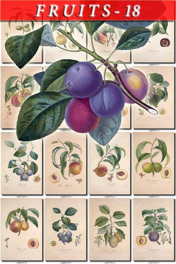 FRUITS VEGETABLES-18 110 vintage print