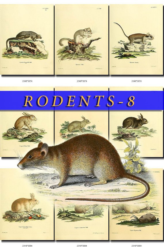 RODENTS-8 49 vintage print