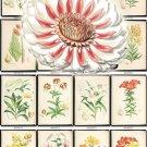 LILIES-3 flowers 295 vintage print