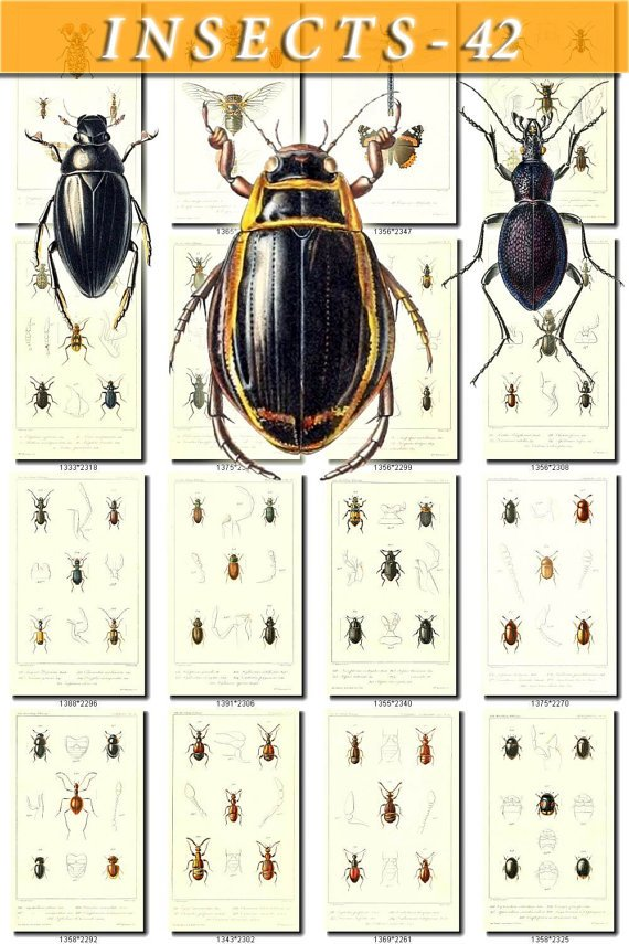INSECTS-42 109 vintage print