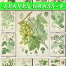 LEAVES GRASS-9 281 vintage print