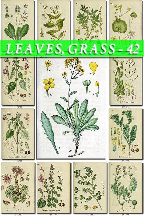 LEAVES GRASS-42 192 vintage print