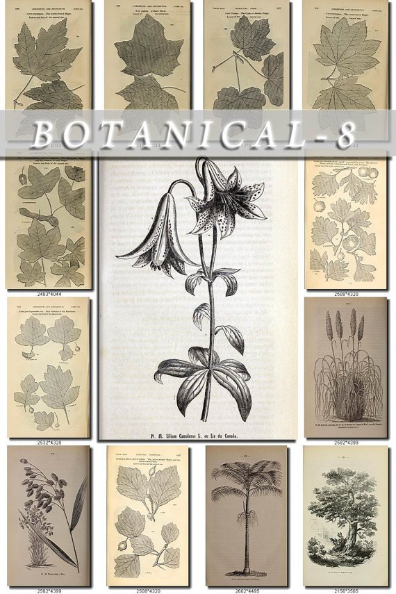 BOTANICAL-8-bw 411 black-, -white vintage print