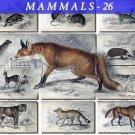 MAMMALS-26 60 vintage print
