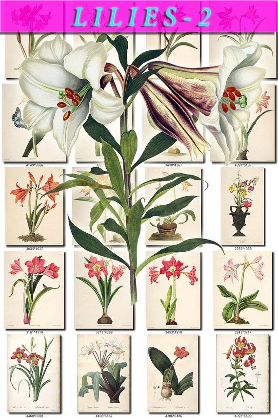 LILIES-2 flowers 294 vintage print