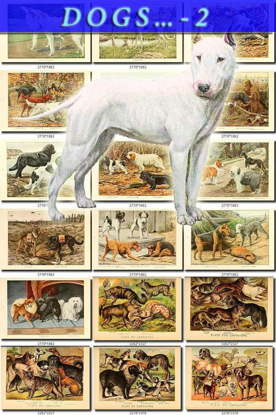 DOGS WOLVES FOXES-2 61 vintage print