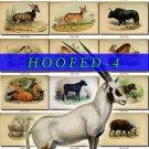HOOFED UNGULATES-4 54 vintage print