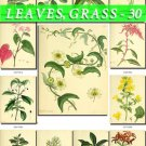 LEAVES GRASS-30 209 vintage print