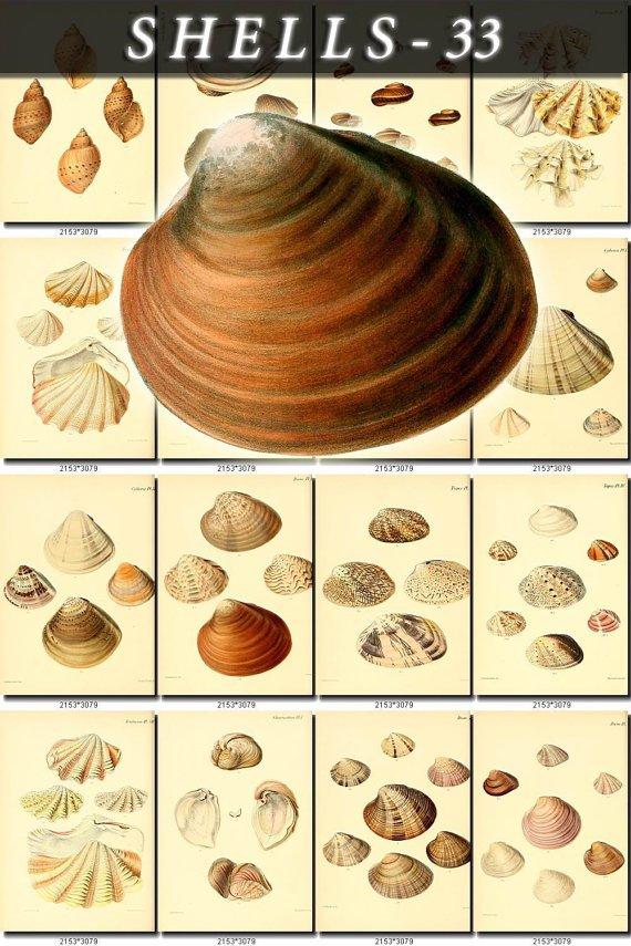 SHELLS-33 140 vintage print