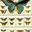 BUTTERFLIES-19-b5 171 vintage print
