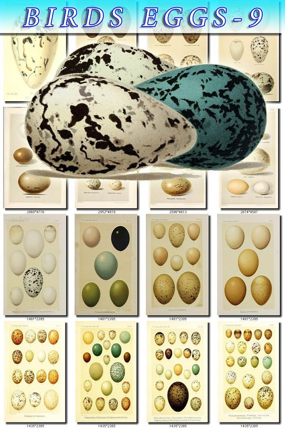 BIRDS EGGS-9 147 vintage print