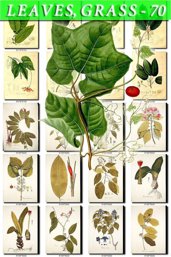 LEAVES GRASS-70 267 vintage print