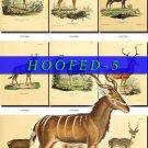 HOOFED UNGULATES-5 59 vintage print