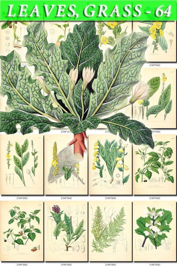 LEAVES GRASS-64 220 vintage print