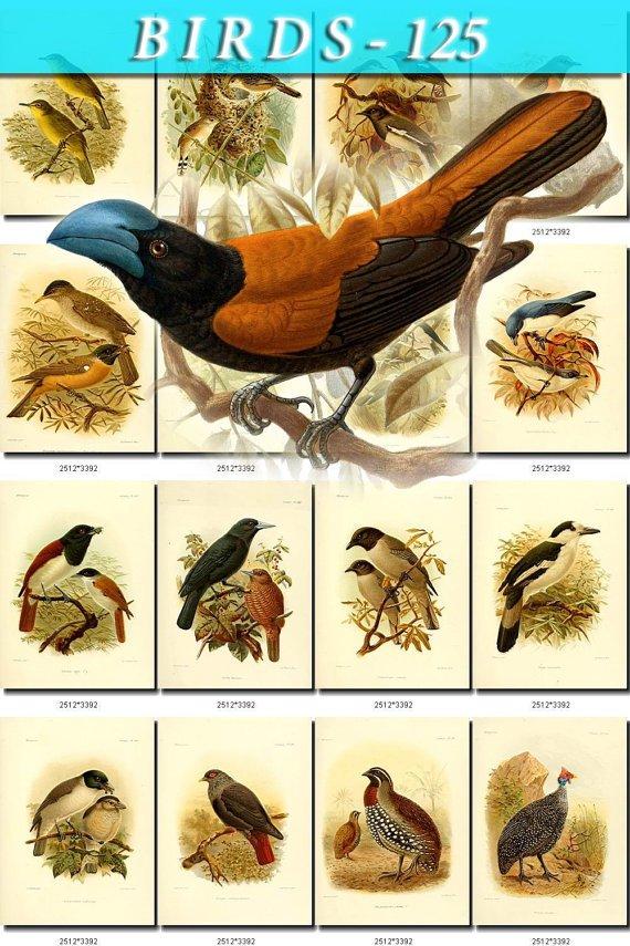 BIRDS-125 62 Madagascar Partridge Helmet Vanga Sunbirds Asity Velvet