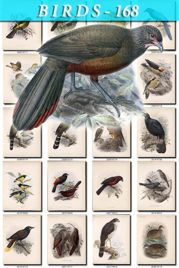BIRDS-168 115 vintage print