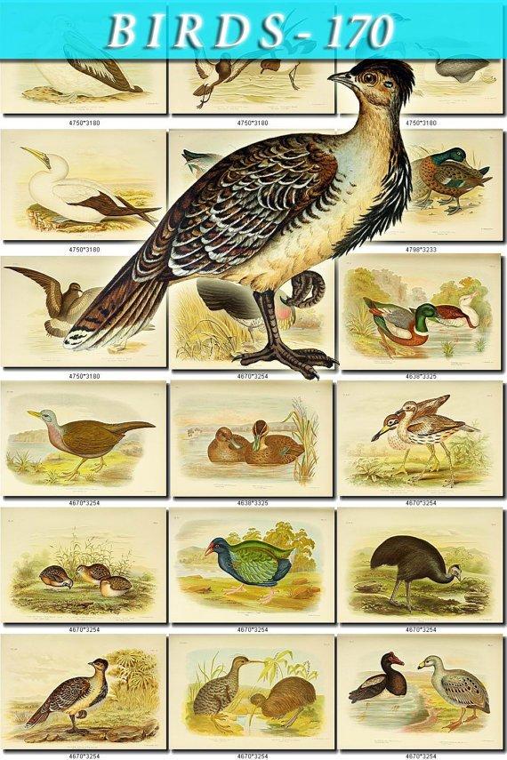 BIRDS-170 110 vintage print
