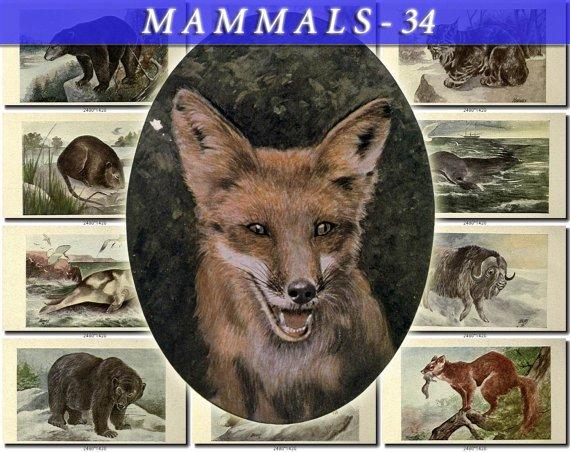 MAMMALS-34 83 vintage print